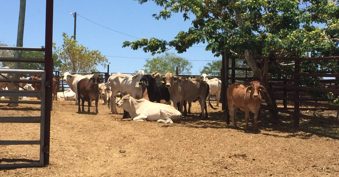 cattle in a yard on a farm on a sunny day