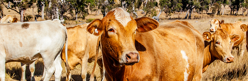 steel is a sustainable material on farms useful for cattle handling