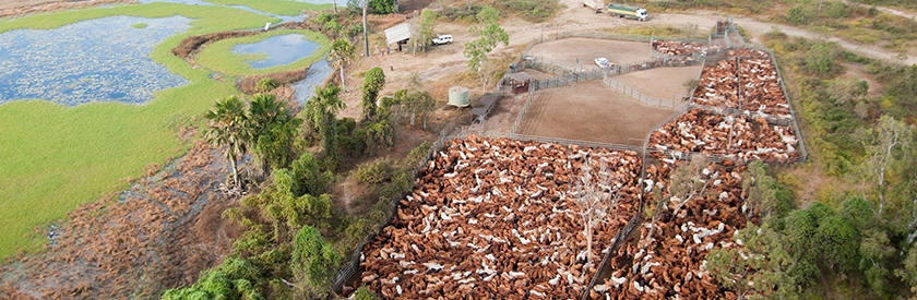 Cattle crowded in yard designed by a steel supplier