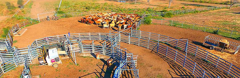 a stress free cattle yard on an Australian farm