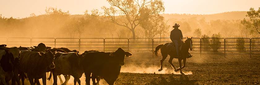 farmer riding a horse around herd of cattle at sunset