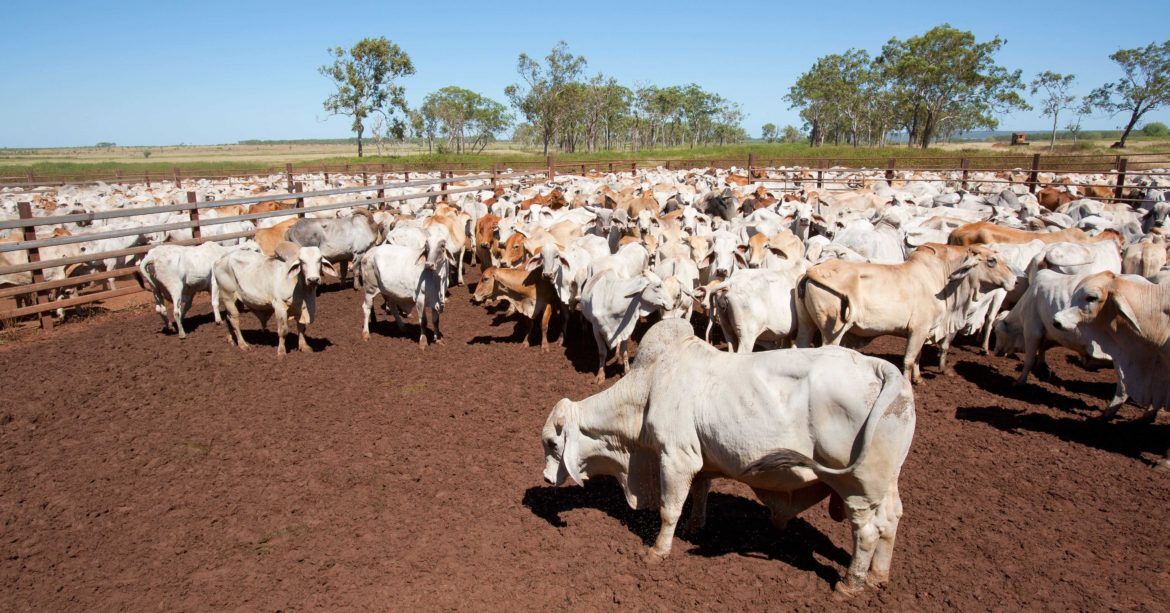 Cattle farm during drought