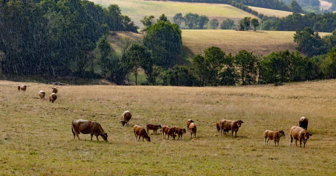 Well looked after cattle and calves grazing together on a farm with hills