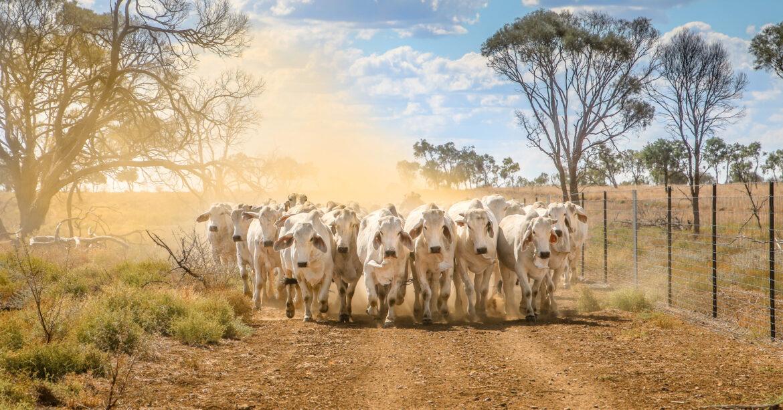 Low stress cattle handling